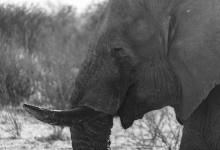 Botswana - Olifant