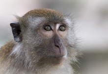 Indonesia - poserende aap