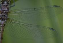 Macro - vleugels van een libelle